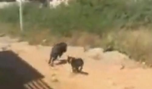 щенок прогнал свинью