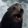 голодный морской лев