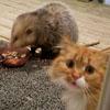 опоссум лишил кошку обеда