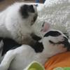 кошка делает массаж собаке