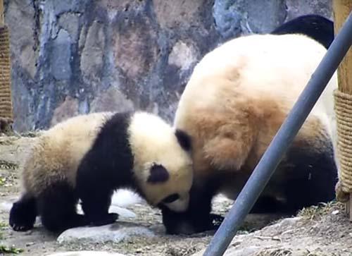 панда кусает маму за лапу