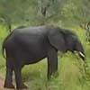слон попытался напугать туристов