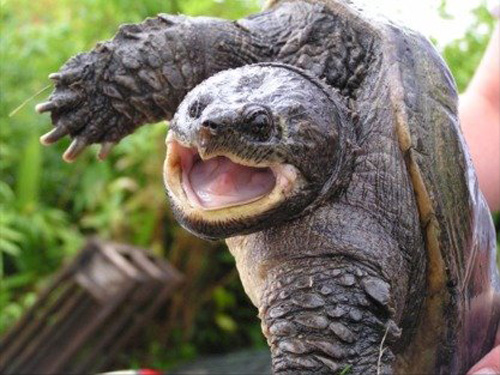 черепаха съела щенка