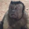 обезьяна с человеческим лицом
