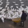 кормление диких лебедей