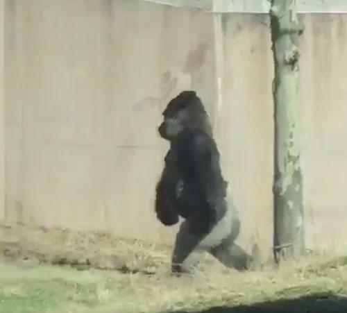 горилла освоила прямохождение