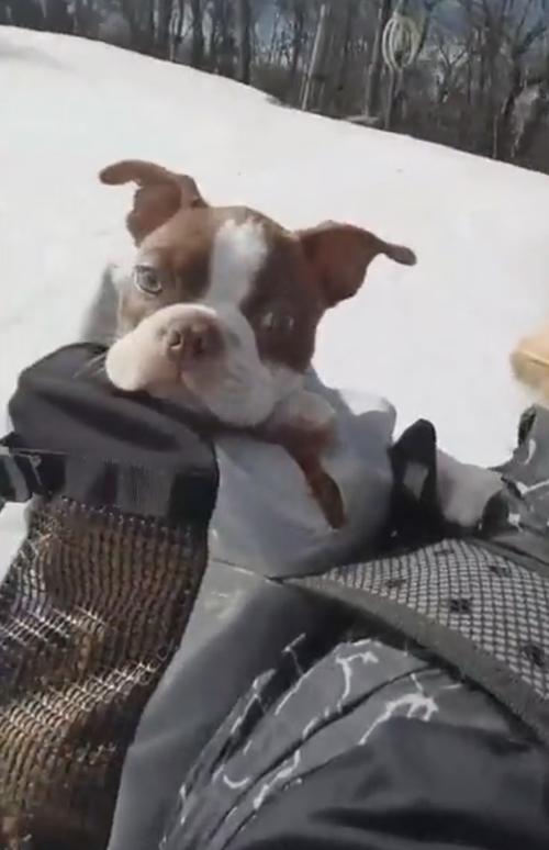 щенок катается на сноуборде
