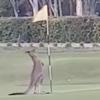 кенгуру подрался с флагом