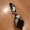 скунс и его игрушечный собрат