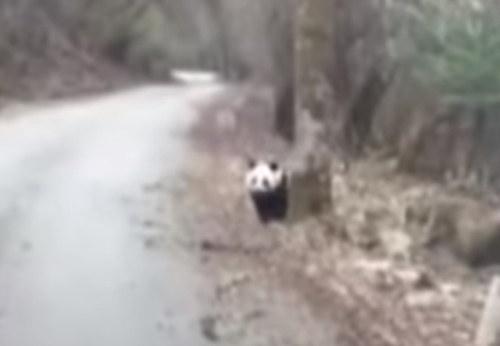 туристы встретили панду