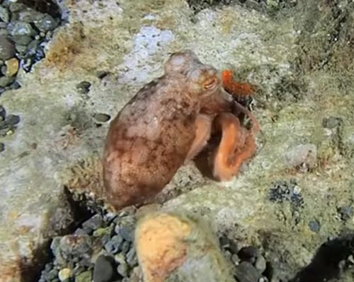 осьминог спрятался от дайвера