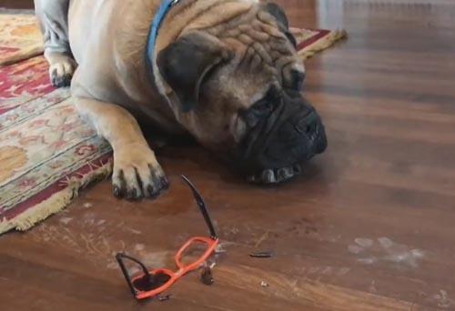 бульмастиф сломал очки