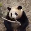 панда упала с дерева