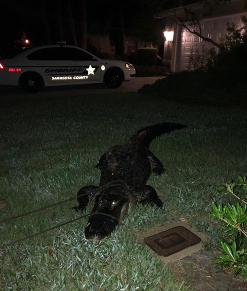 аллигатор ночью в бассейне
