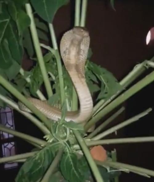 кобра расположилась на дереве