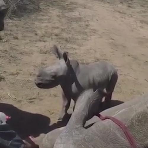 маленький носорог защищает маму