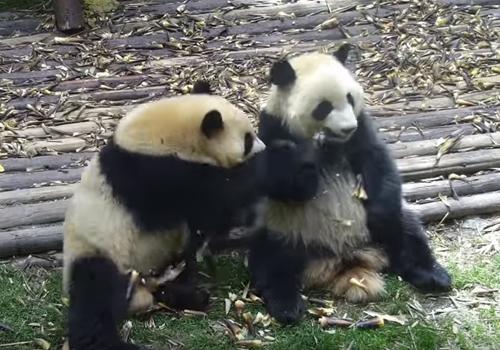 панда ест ворованный бамбук