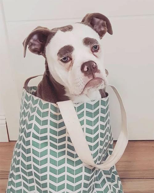 грустная собака с бровями