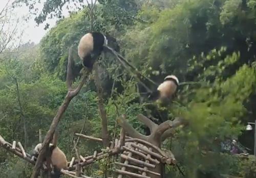 панда сломала ветку дерева