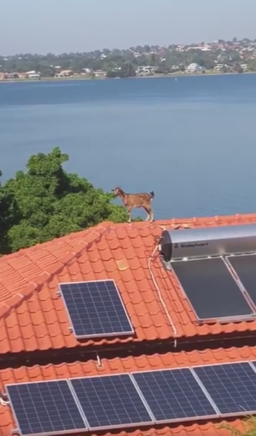 коза на крыше