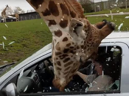 жираф сунул морду в машину