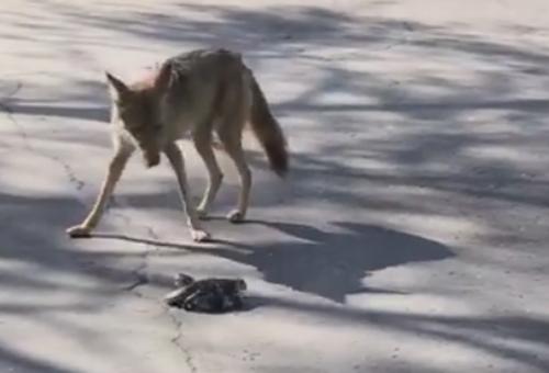 койот и гремучая змея