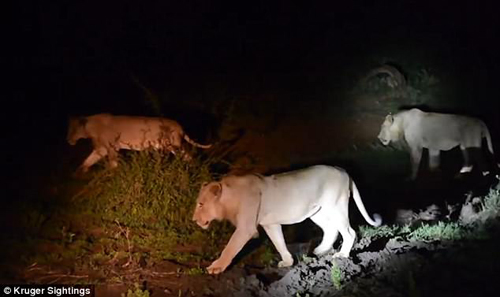 колючий урок для львов