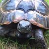черепаха сбежала на три дня