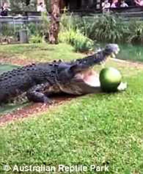 крокодил расправился с арбузом