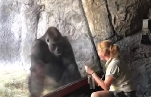 горилла повторяет движения