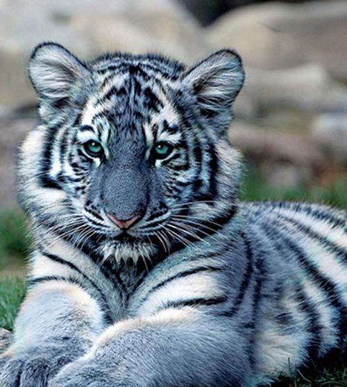 енота приняли за тигра