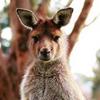 кенгуру сбежали из зоопарка