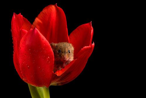 фотографии мышей в тюльпанах