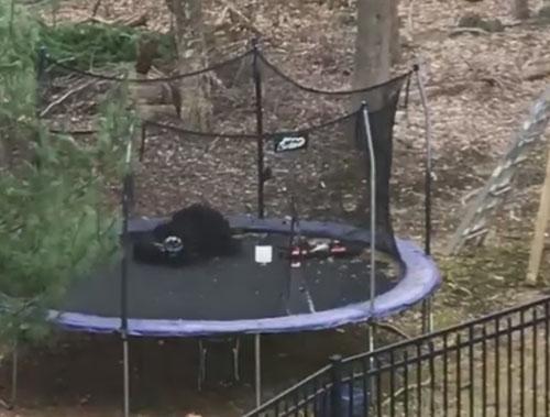 медведю понравился батут