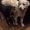 собака приняла собрата за овцу