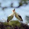 верный аист возвращается к супруге