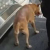 пёс на эскалаторе