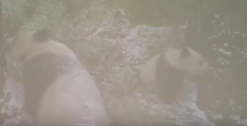 панда сломала видеокамеру