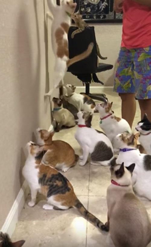 забавная синхронность кошек