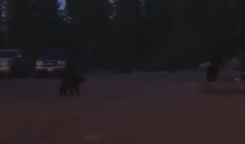 медведи пришли в офис шерифа
