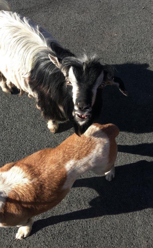 коза и собака гуляли по шоссе