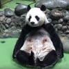 панда плескается в бассейне