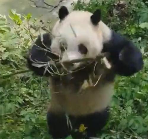 панда показала невероятное шоу