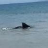 акула приплыла на мелководье