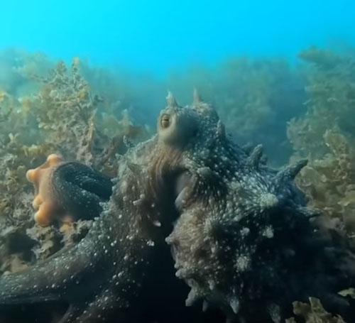осьминогу не понравился дайвер