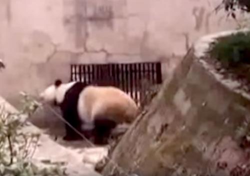 панда танцует в зоопарке
