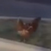 полицейский помог курице