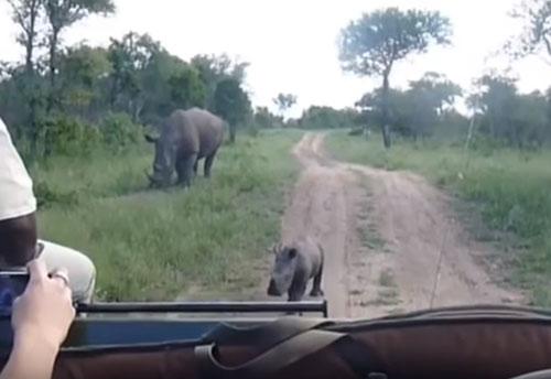 носорог оказался не страшным