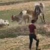 коровы разогнали подростков