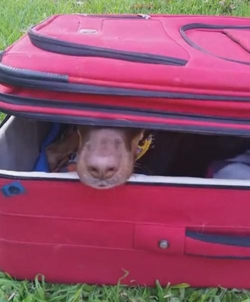 собака упаковывается в чемодан